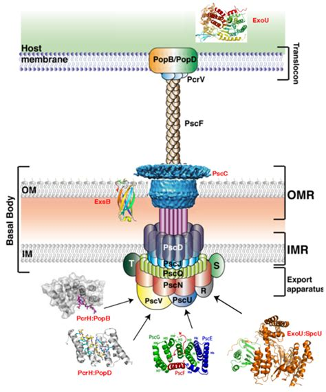 protein of pseudomonas bacterial secretion systems ibs institut de biologie