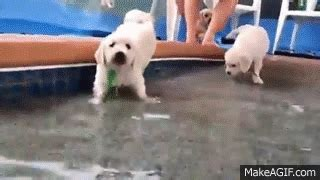 golden retriever breeders northeast ohio adorable golden retriever puppies swim for the time bottlegate