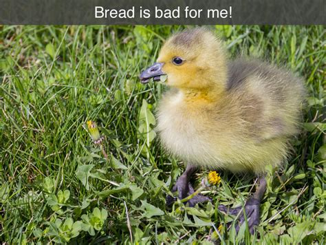 top 28 is bread bad for ducks birds bird wildlife