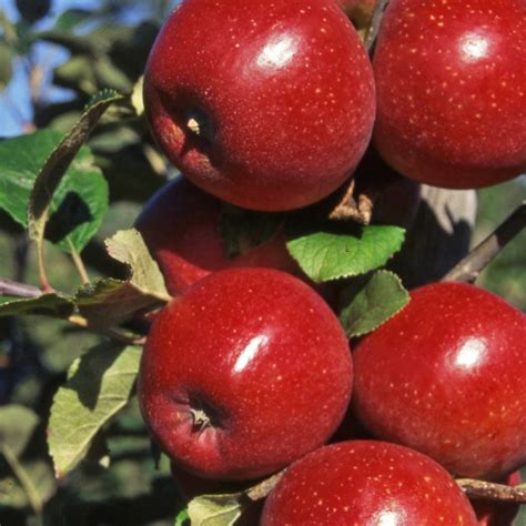 how for an apple tree to produce fruit apple tree purchase self fertile apple trees