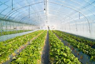 file strawberry greenhouse jpg wikimedia commons