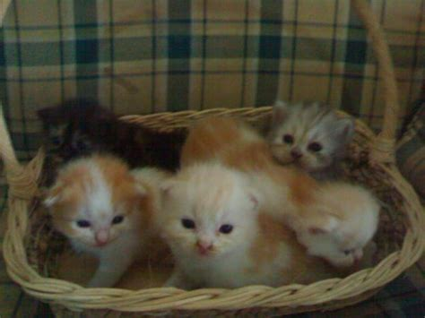 Jual Keranjang Kucing Bandung jual anak kucing murah bandung