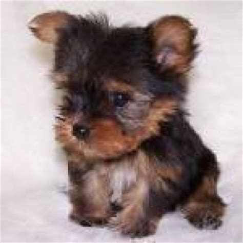free yorkie puppy adorable teacup yorkie puppy for free home adoption mountain top pa asnclassifieds