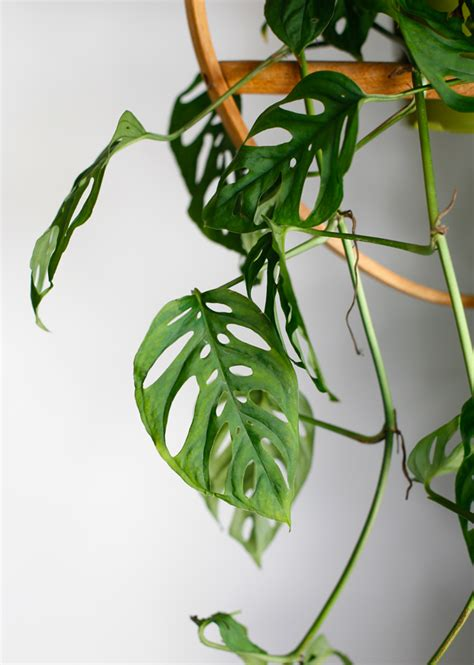 houseplant vine plant o pedia swiss cheese vine the jungalowthe jungalow