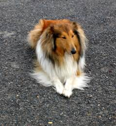 collie roughjpg breeds picture