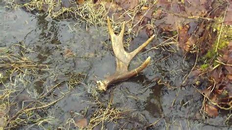 moose antler shed