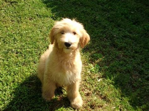 mini goldendoodles rescue in ohio 2 the goldendoodle puppies and dogs for sale