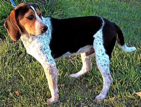 blue tick hound golden retriever mix beagle coonhound mix photo happy heaven