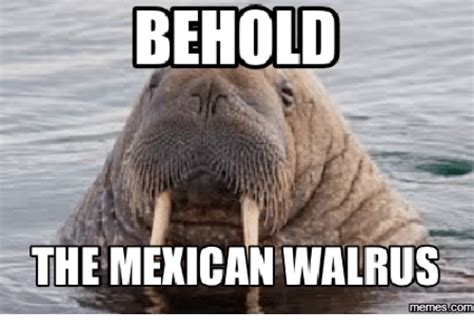 Walrus Meme - behold the mexican walrus memes commu walrus meme on me me
