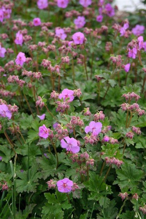 fall flowering perennials geranium x cantabrigiense karmina 4 quot pot http