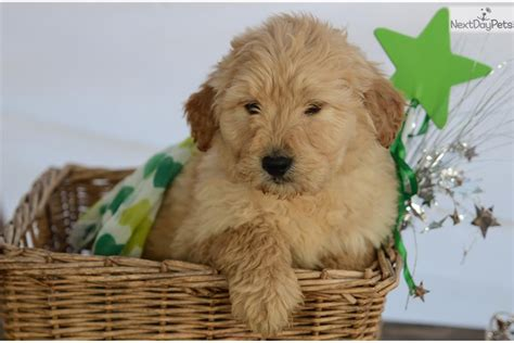 goldendoodle puppy nc goldendoodle puppy for sale near carolina