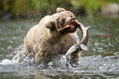 Grizzly bears fishes hunting food rivers alaska nature