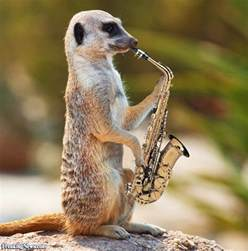 meerkat playing a saxophone pictures freaking news