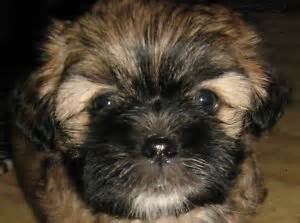 shih tzu puppies fenton mi 17 best images about shichi on chihuahuas and 10 month olds