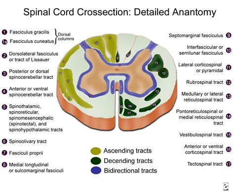 spinal cord transverse section spinal cord cross section diagram labeled transverse
