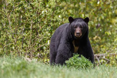 imagenes oso negro oso negro salvemos a un amigo