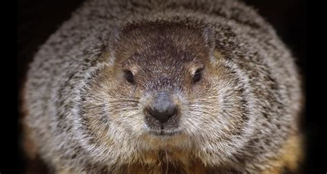 groundhog day 2016 brookfield zoo wallpaper archive
