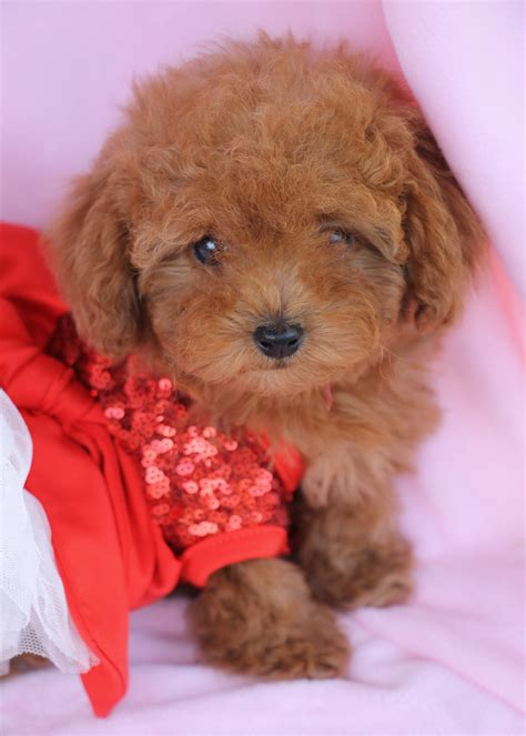 teacup puppies florida poodle puppies for sale south florida teacups puppies boutique