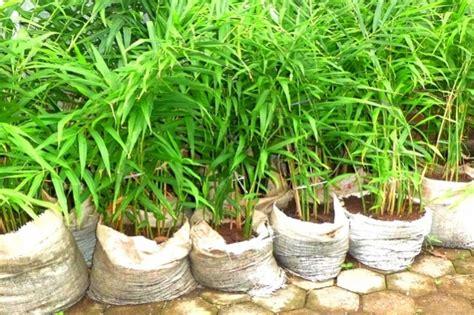 condido agro herbal pusatnya tanaman pangan hias
