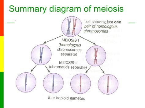 2n 6 meiosis diagram lesson 6a the stages of meiosis