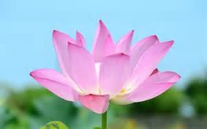 Pink Lotus Flower Pink Lotus Flower Wallpaper 39464