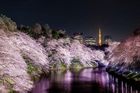 cantik himpunan gambar gambar sakura ketika malam