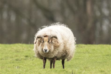 Types Of Hair Sheep by Facts About Lambing With Hair Sheep Breeds Countryside
