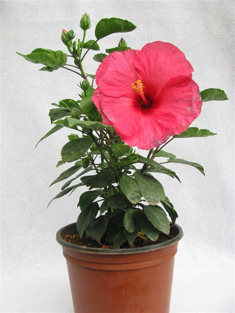 Flowering Garden Plants Buy Hibiscus Pink Color Flowering Plant Jaswand At Best Prices In India Chhajedgarden