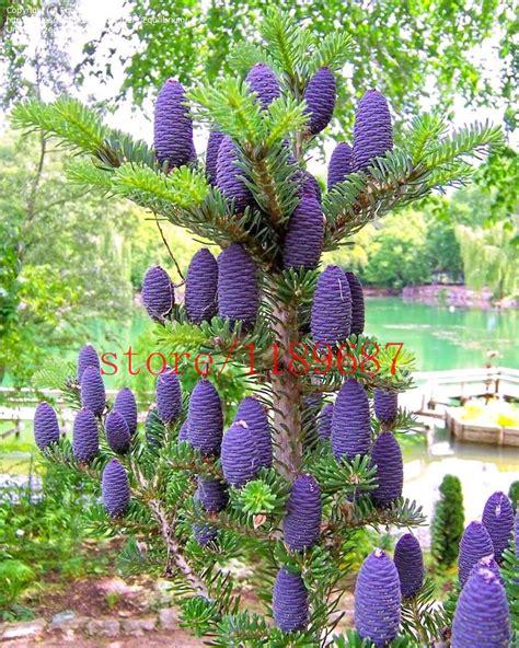 korean garden decoration aliexpress buy 50 purple korean fir seeds abies