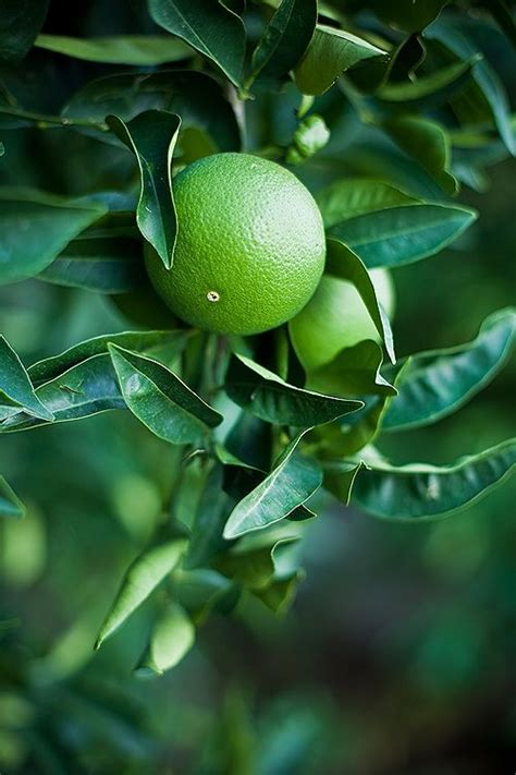 tree that smells like oranges 17 best images about lemon and lime tree on to grow limoncello and pots