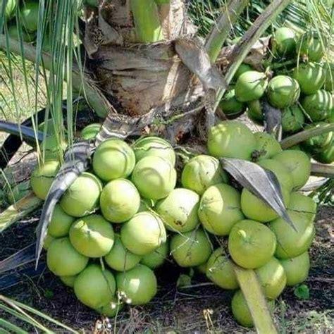 tanaman kelapa pandan wangi samudrabibit com