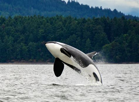 killer whale killer whale culture shapes their evolution d brief