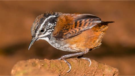 for tropical wren songs and species evolve in isolation