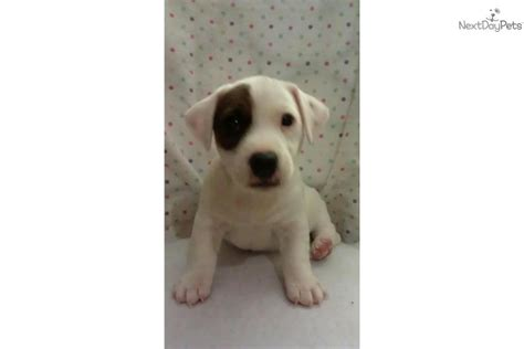 shorty puppies for sale in florida terrier puppy for sale near ta bay area florida b31d7fbe c6d1