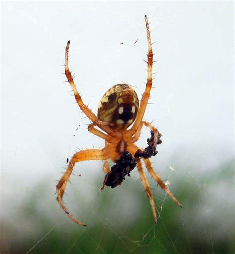 Garden Spider Legs Spiders 1