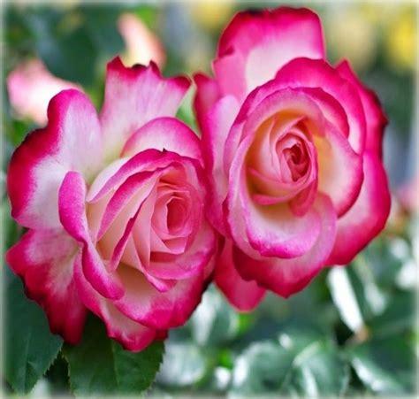 image gallery las rosas mas lindas 17 mejores ideas sobre las rosas mas hermosas en pinterest