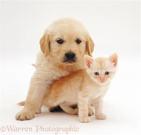 golden retriever 6 weeks pets golden retriever pup 6 weeks and kitten photo wp26209