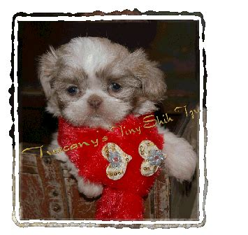 tuscany shih tzu imperial and teacup shih tzu puppies for sale photo gallery tuscanys tiny