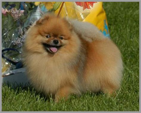 rainbow pomeranian pom classic owner and breeders of top show pomeranians since 1995