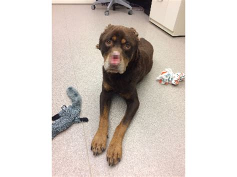 baron the rottweiler baron found mutilated is on road to recovery with help of mhs and team of