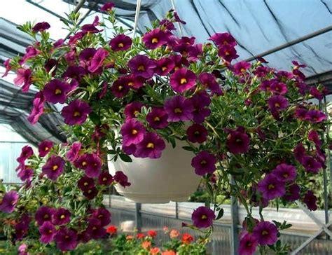 fiori petunie significato petunia significato dei fiori significato