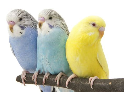1000 ideas about pet birds on pinterest parakeets