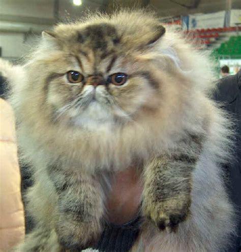 persiani gatti razze gatti persiano
