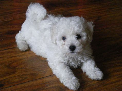 bichon frise puppy bichon frise puppies kilmarnock ayrshire pets4homes
