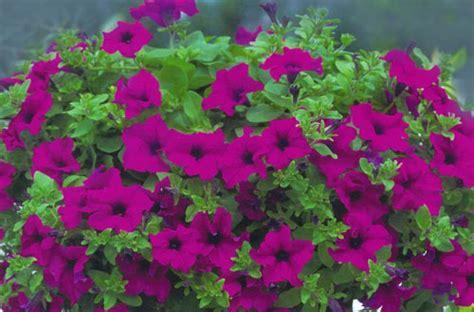 fiore surfinia surfinie bellissime il trucco nessuna piet 224 fiori e