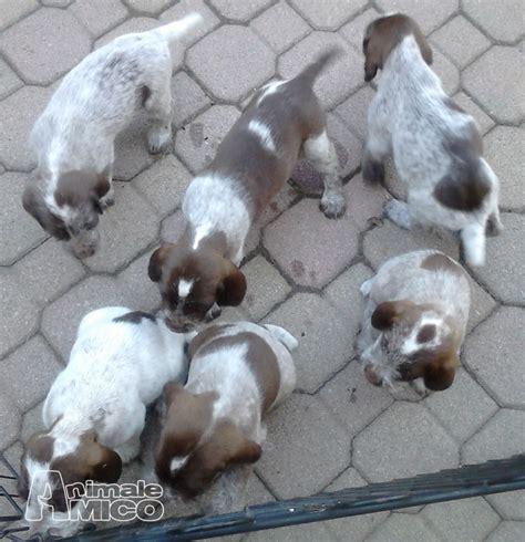cuccioli regalo pavia vendita cucciolo spinone da privato a pavia cani spinone