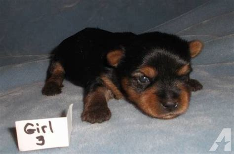 teacup puppies for sale missouri teacup and small yorkie puppies health guaranteed boys and for sale in