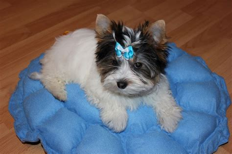 white and yorkie black and white terrier puppy doncaster south pets4homes