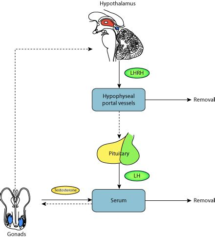 hypothalamic regulation of pituitary secretion of