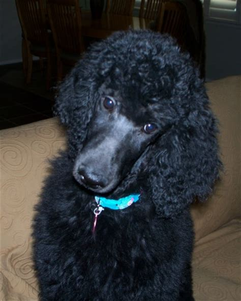 az adoptions arizona poodle rescue